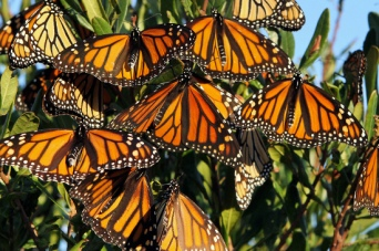 Hundreds of monarch butterflies at Stone Harbor Point, N.J., Wednesday morning, Oct. 5, 2011. Volunteers from the Cape May Bird Observatory released tagged monarch butterflies at Cape May Point State Park, as part of the butterfly migration monitoring program. (AP Photo/The Press of Atlantic City, Danny Drake)